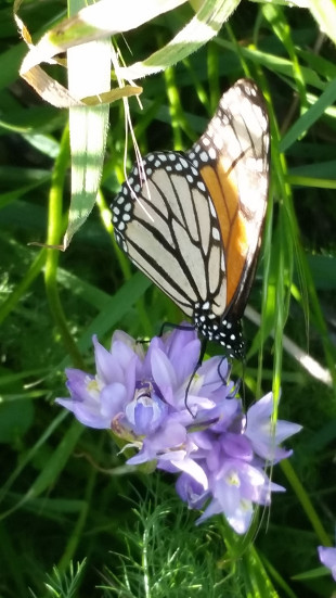 Image of Monarch Butterfly sitting on a Blue Dicks Lilly