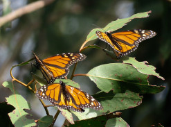 Image of three Monarch butterflies