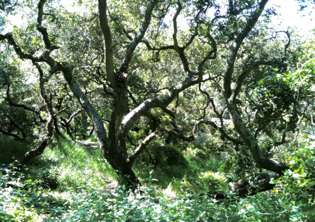 Image of Coastal Oak on YBI
