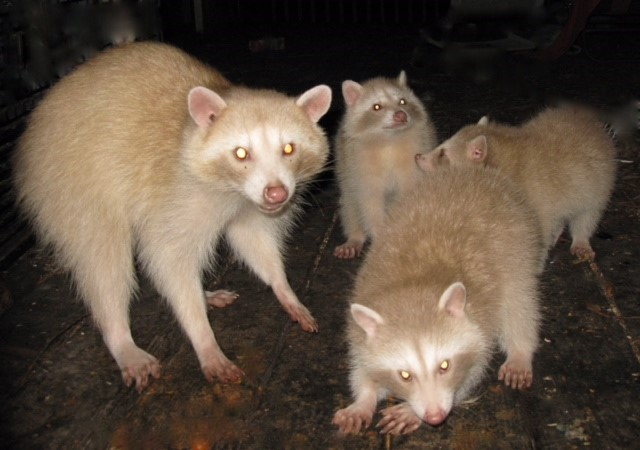 Image of four golden raccoons